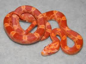 corn snakes h picture 11