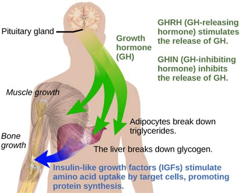 human growth hormone deficiency symptoms picture 3