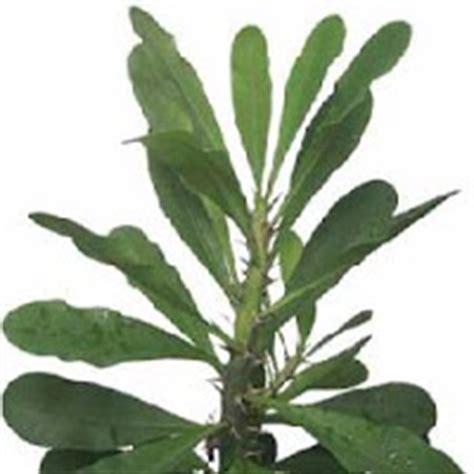 herbal na gamot sa sakit ng tiyan picture 3