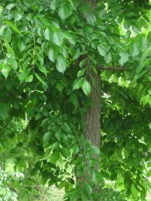 slippery elm tree picture 3
