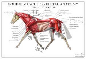 horse muscle system picture 3