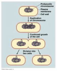 bacterial reproduction picture 1
