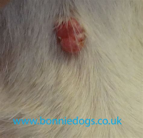warts on dogs picture 15