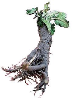 burdock seed tea picture 17