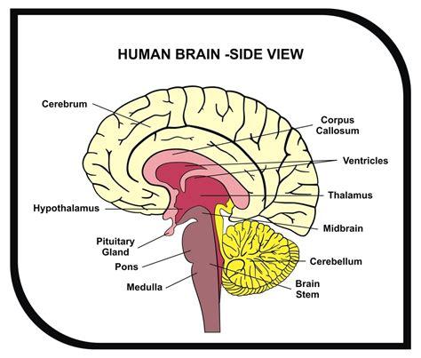infant bacterial meningitis strokeremove half of brain picture 10