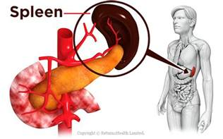 health spleen picture 1