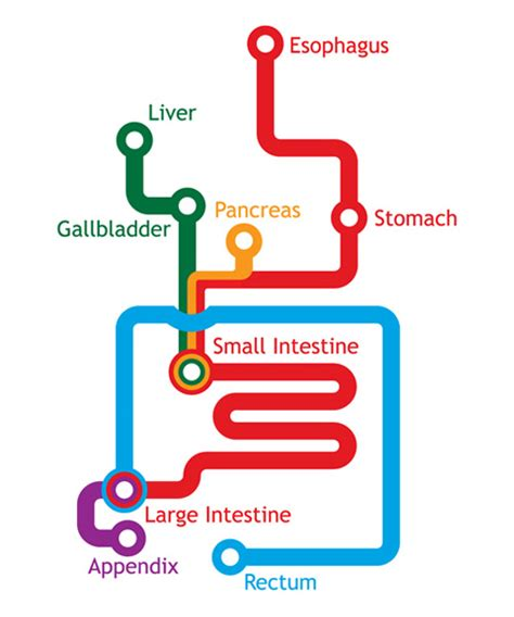 human liver how it works picture 13