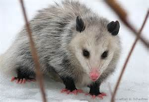 pictures of opossum h picture 6