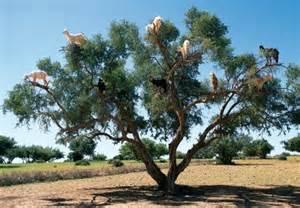 argan tree fruit picture 5