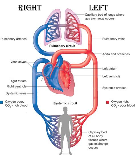 anatomy and physiology of blood circulation picture 8