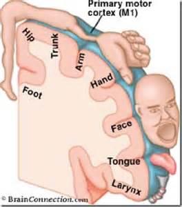 cerebral blood flow motor cortex picture 17