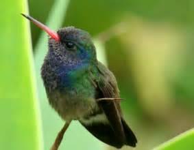 baby hummingbird diet picture 1