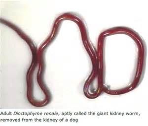 bladder worms picture 1