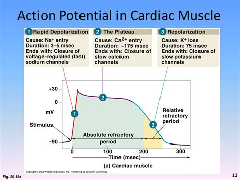 does ecg directly measure action potentials in muscle picture 5