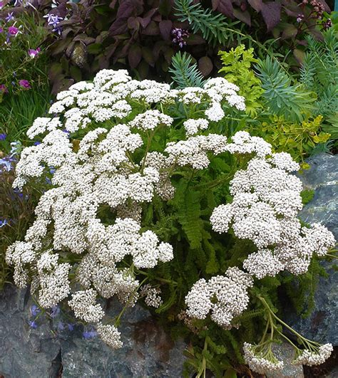 white yarrow picture 18