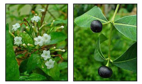 serpentina philippines picture 2