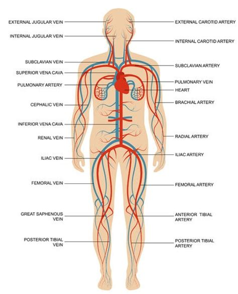 blood vessels and circulation picture 1