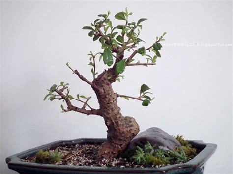 tea tree turn herpes black picture 19