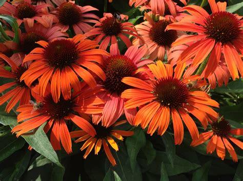 echinacea orange picture 1