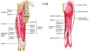 leg adductor muscle picture 7