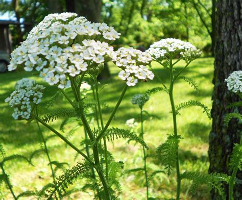 yarrow root picture 7