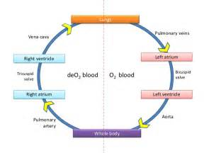 flowchat betweeen the blood circulatory system and the picture 19