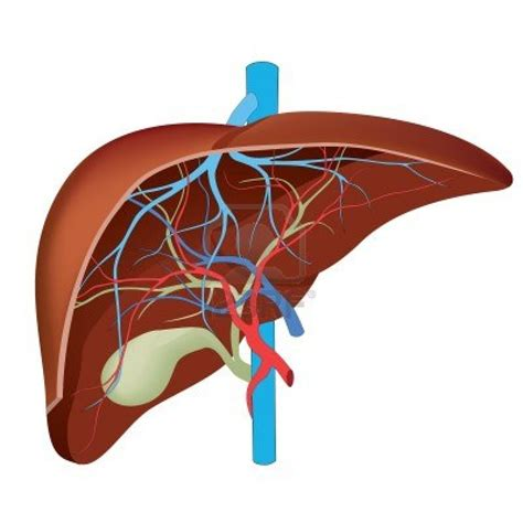 diagrams of the human liver picture 3