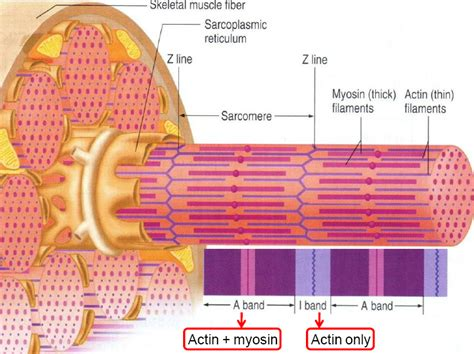 diagrams of skeletal muscle fiber picture 11
