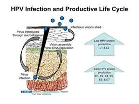 human papilloma virus picture 3
