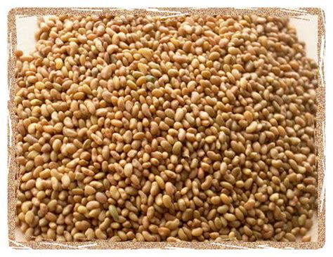 alfalfa seed for sale picture 15
