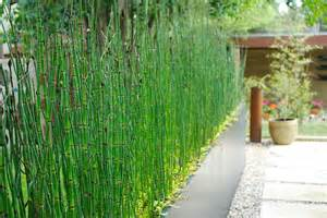 5 horsetail plant picture 2