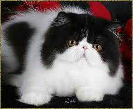 smoke persians cats picture 10