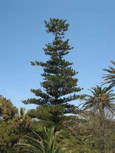 a thorny evergreen tree native to southwest morocco picture 10