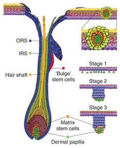 stem cells hair picture 1