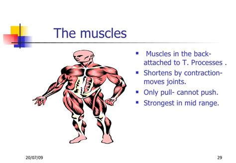 functional unit of the muscle picture 15