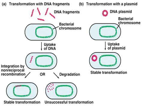 bacterial transformation method picture 3