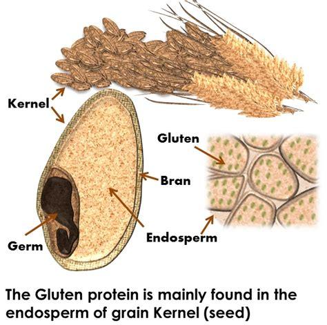 alfalfa gr for gluten allergy picture 6