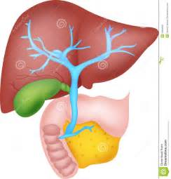 where is the liver located on human body picture 3