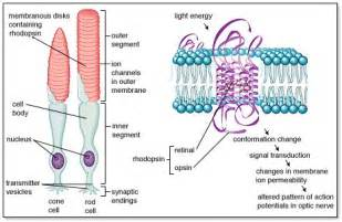 is rhodopsin located in skin cells picture 5