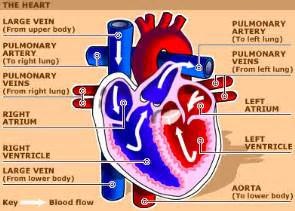 blood flow through the heart picture 13