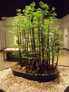 bonsai ginkgo training picture 5