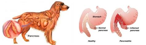canine pain relief therapy picture 14