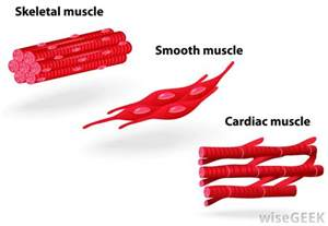 how many muscle in a body picture 9