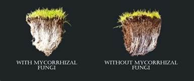 mycorrhizal fungi picture 1