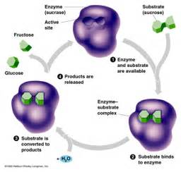 enzymes picture 13