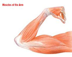 bicep muscle tissue picture 3
