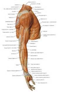 arm shoulder muscle pain picture 17