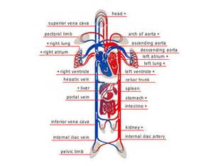 blood flow chart from heart to big toes picture 6
