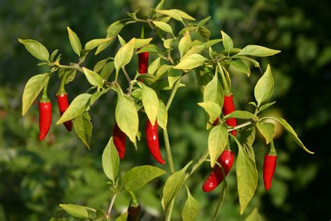 cayenne pepper grows the hair picture 14