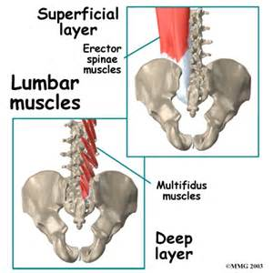 lumbar muscle picture 2